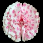 "16"" Fuchsia Dot Tissue Paper Pom Poms Ball -(4 pieces)"